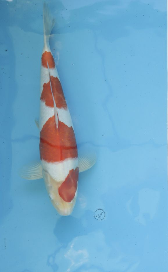 Kohaku 45 см Male High Quality